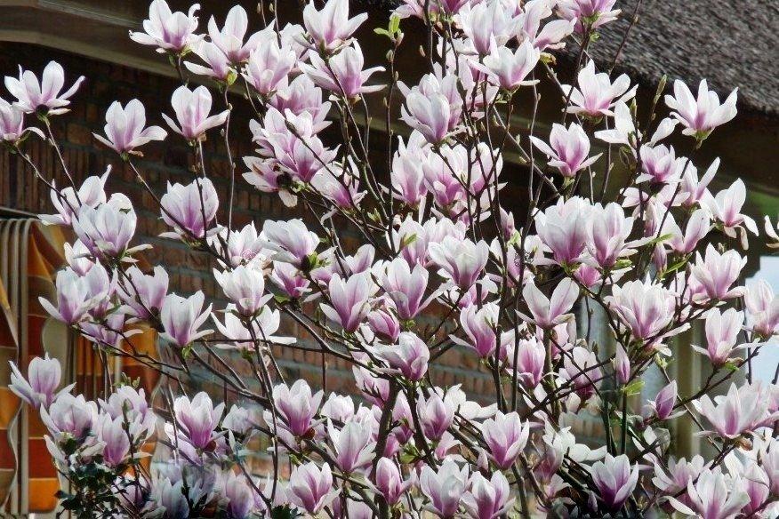 magnolia george henry kern sprawd ceny sadzonki w. Black Bedroom Furniture Sets. Home Design Ideas