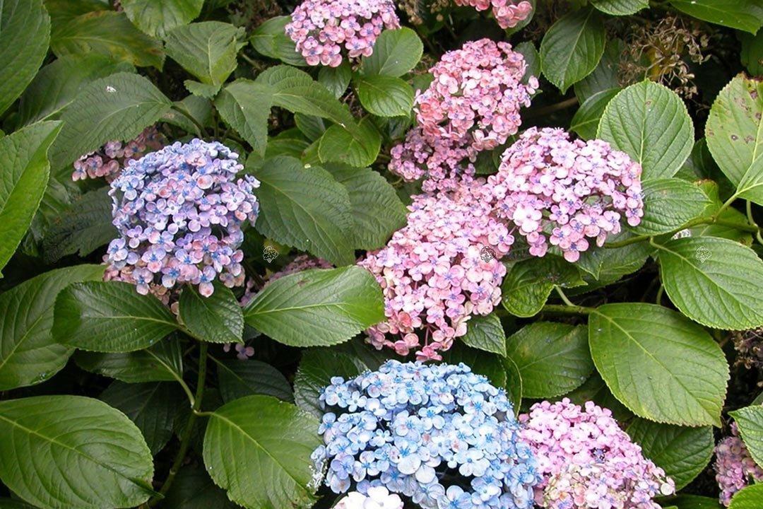 Hortensja Ogrodowa Ayesha Hydrangea Macrophylla Sprawdź Ceny