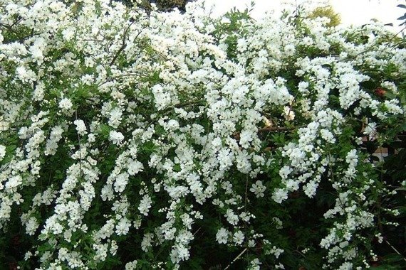 Obiela The Bride Exochorda