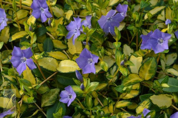 Barwinek pospolity Illumination Cahill Vinca minor