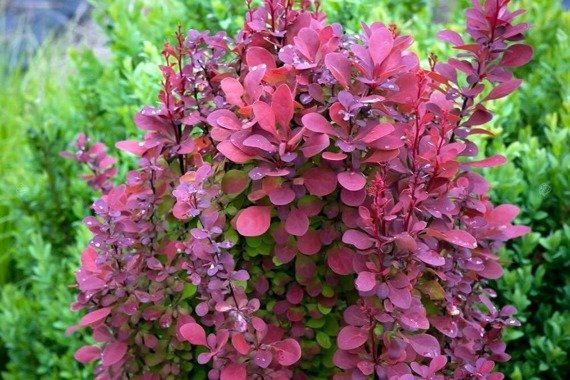 Berberys Thunberga Orange Rocket PBR Berberis thunbergii