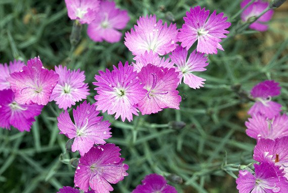 Goździk alpejski Light Rose Dianthus alpinus