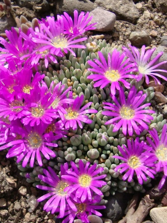 Słonecznica Table Mountain Delosperma cooperi