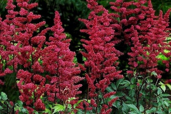 Tawułka Burgundy Red Astilbe
