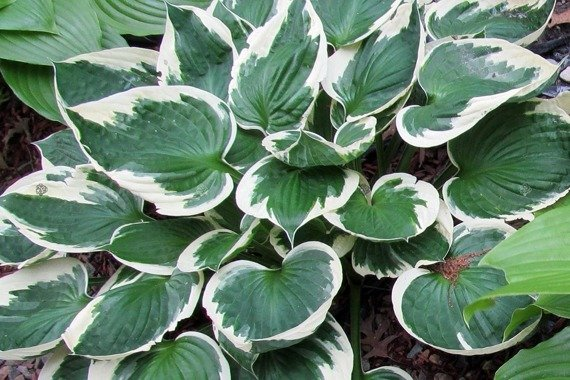 Funkia Fortune'a Patriot Hosta fortunei