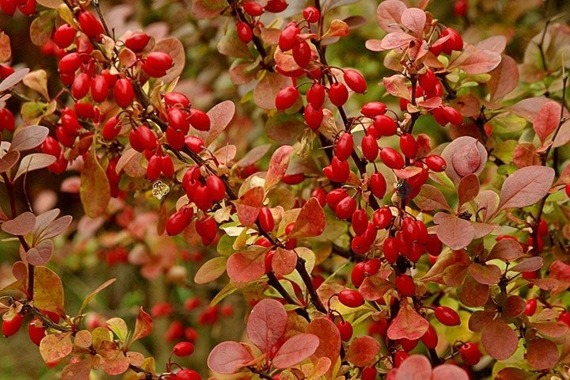 Berberys Thunberga Red Pillar Berberis thunbergii