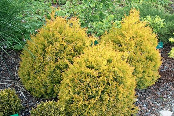 Tuja kulista Golden Globe Thuja occidentalis