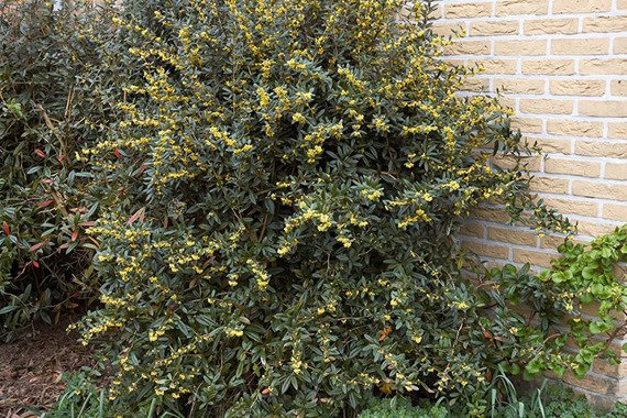 Berberys Juliany Berberis julianae