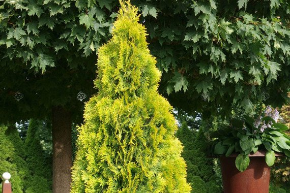 Tuja Golden Brabant Thuja occidentalis