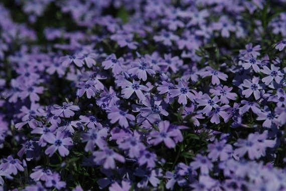 Floks szydlasty Płomyk Emerald Cushion Blue Phlox subulata