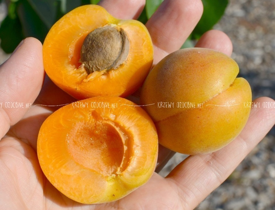 morela early orange