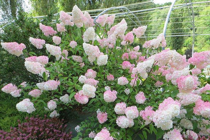 hortensja bukietowa vanille fraise renhy pbr hydrangea paniculata cena sadzonki w. Black Bedroom Furniture Sets. Home Design Ideas