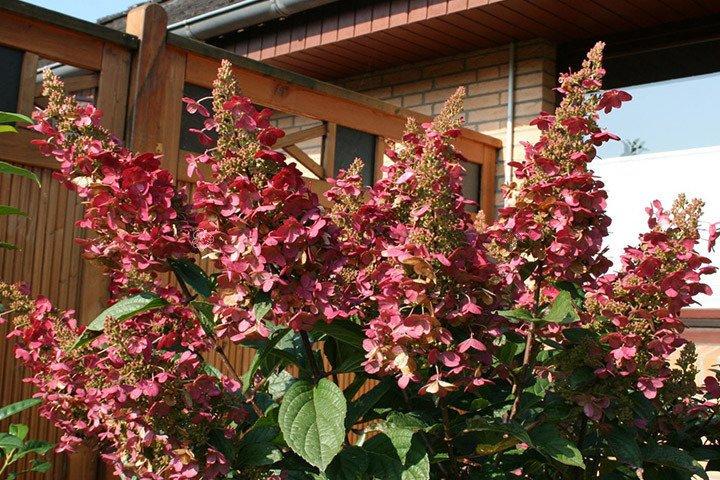 hortensja bukietowa wim 39 s red hydrangea paniculata cena. Black Bedroom Furniture Sets. Home Design Ideas