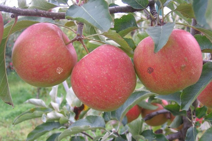 szampion jabłoń