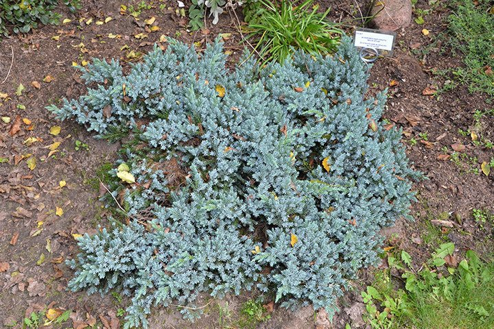 Ja owiec uskowaty blue carpet juniperus squamata cena sadzonki w - Juniperus squamata blue carpet ...