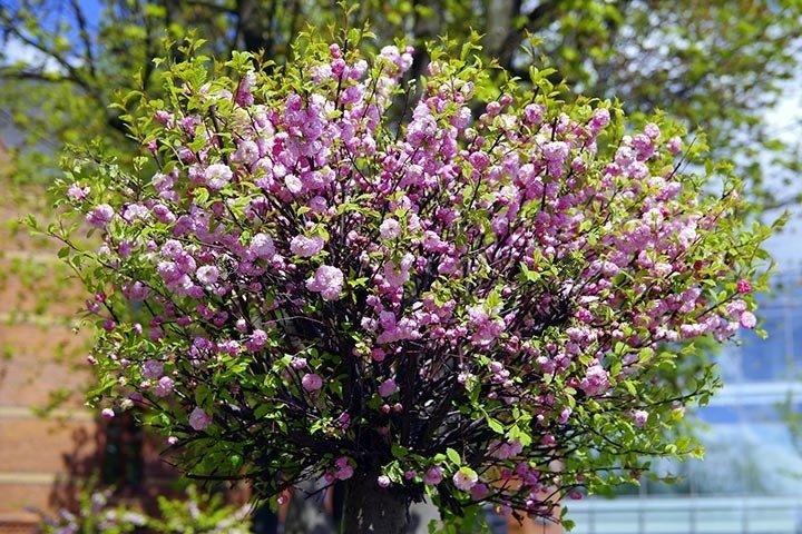 Migdał krzaczasty Migdałek trójklapowy Prunus triloba sprawdź ceny sadzonki  w krzewyozdobne.net