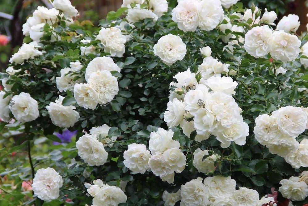 róża biała do ogrodu
