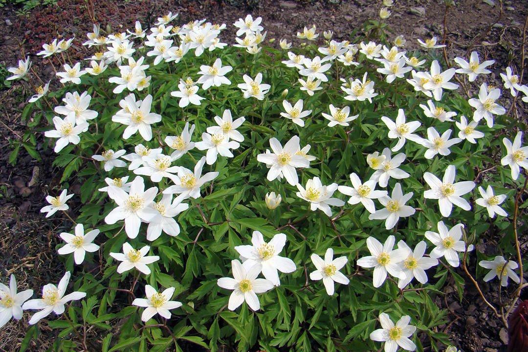 Zawilec wielkokwiatowy Anemone sylvestris sprawdź ceny sadzonki w  krzewyozdobne.net