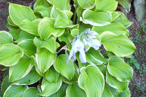 Funkia Fragrant Bouquet Hosta