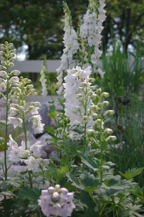 Ostróżka ogrodowa Magic Fountains White Delphinium cultorum