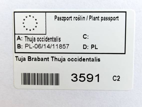 Tuja Brabant Thuja occidentalis