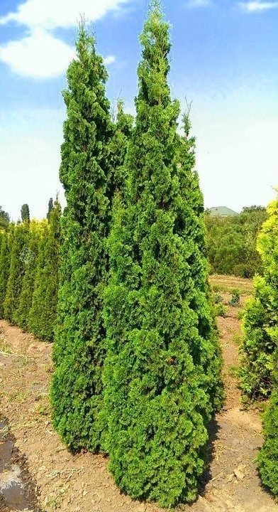 Tuja Spiralis Thuja occidentalis