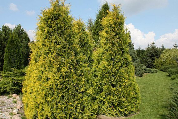 Tuja Sunkist Thuja occidentalis