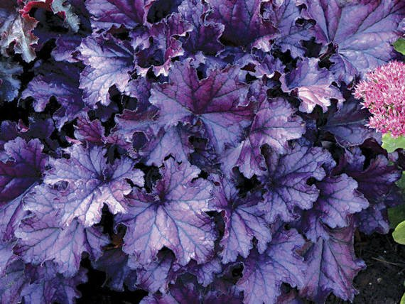 Żurawka Forever Purple Heuchera